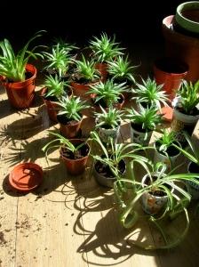 houseplants re-potting