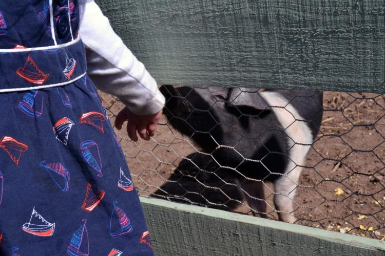 Child and pig at Auchengarrich Wildlife Park