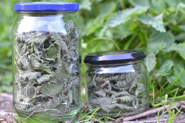 Foraged nettle leaves dried in jar for tea