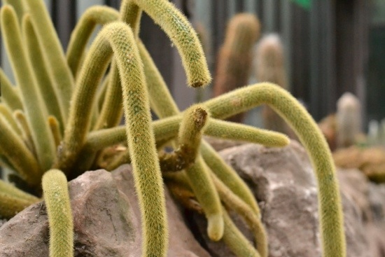 Succulent Cactus that looks like spider at Glasgow Botanic Gardensjpg