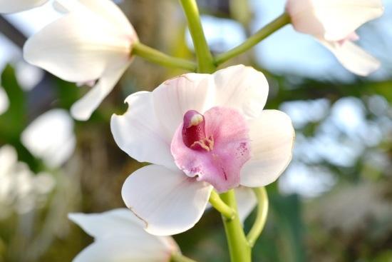 Orchid at Glasgow Botanic Gardens.jpg