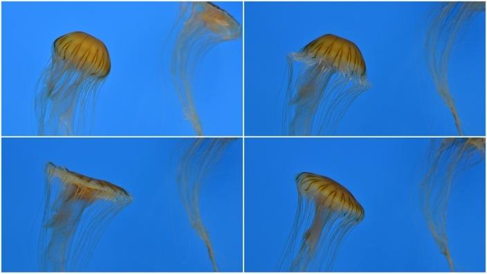 Jellyfish at Baltimore Aquariumjpg