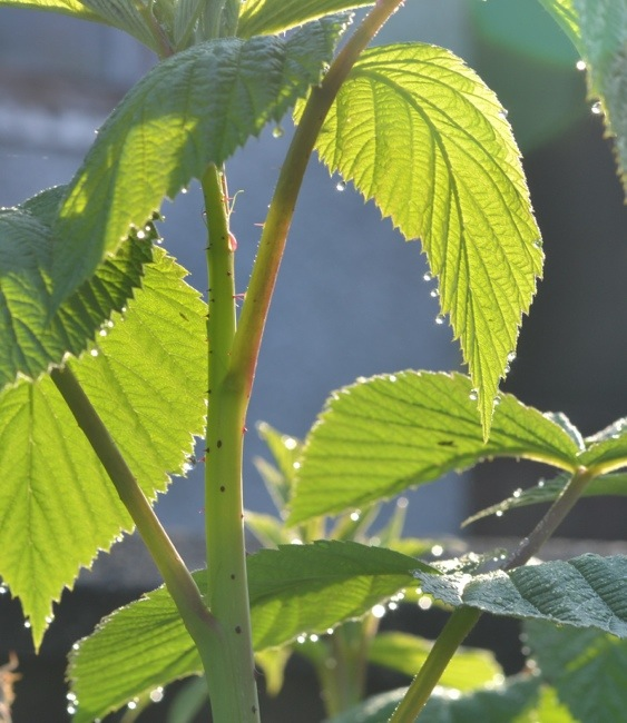 Raspberry plant in morning dew and sunlight.jpg