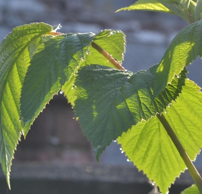 raspberry plant in morning dew and sunlightjpg