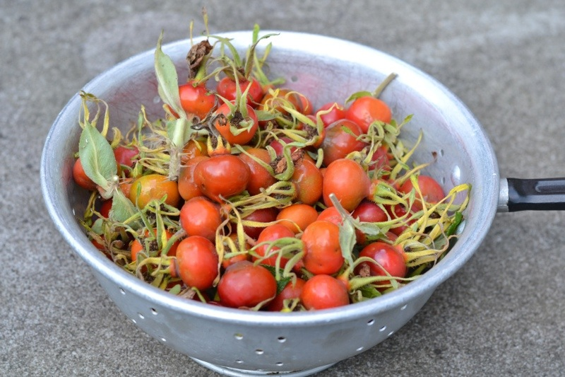 Rose Hips picked for Syrup, Riotflower's Realm