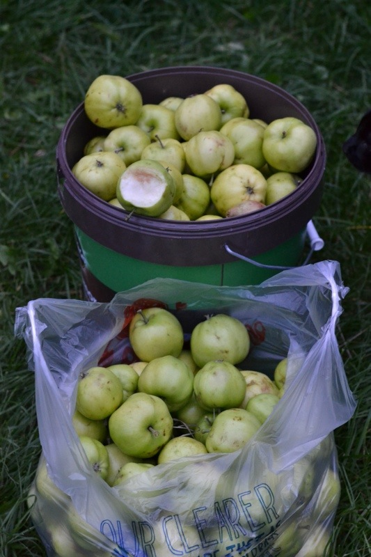 cooking apples from a neighbour's tree.jpg