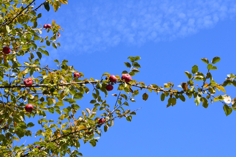 foraged apples from an apple tree.jpg