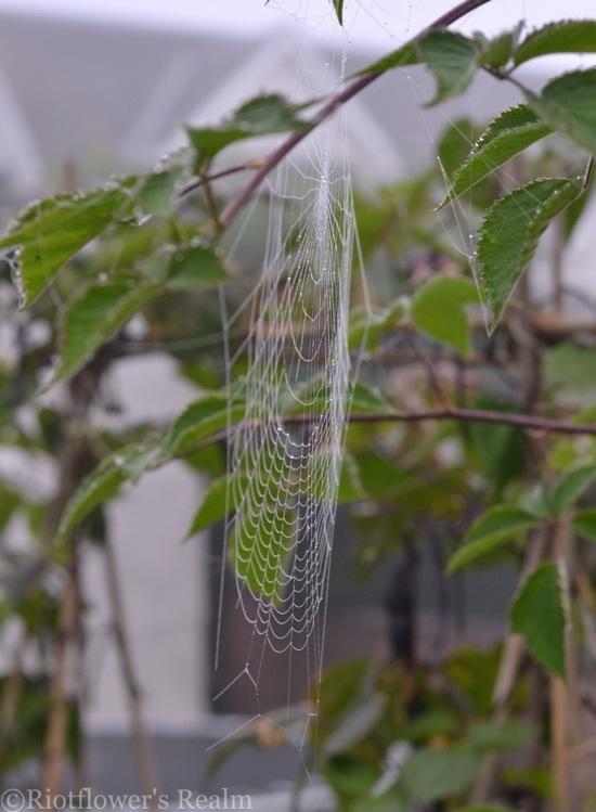 Spider web in garden.jpg