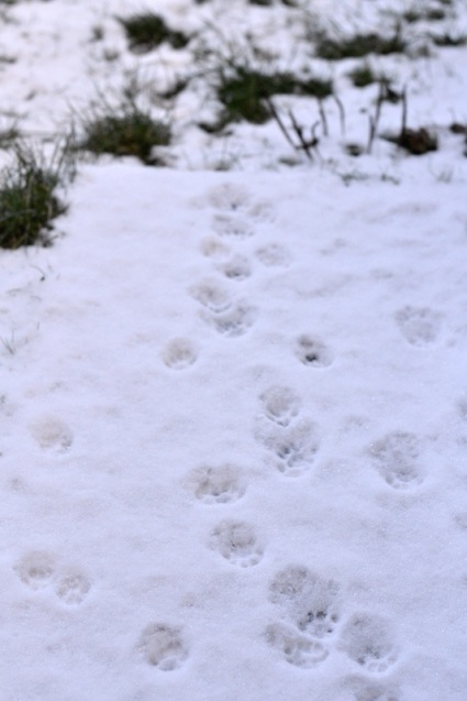 morning snow in Stirling Scotland with cat paw prints