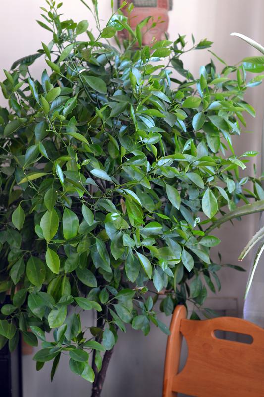 Indoor citrus tree