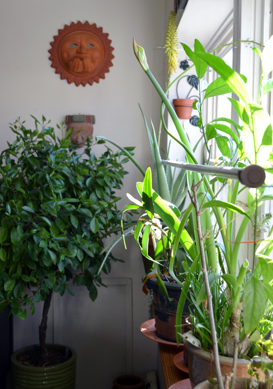 Large window sill full of plants and citrus tree
