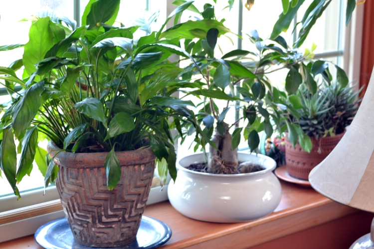 Peace lily and other plants on large window sill