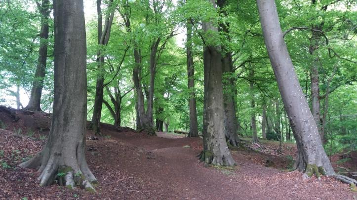 Stand of beech trees in Mine Wood, Bridge of Allan, Scotland