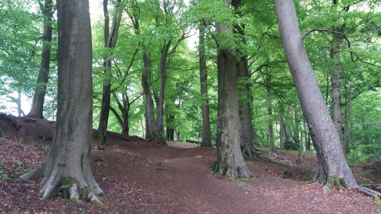 Stand of beech trees in Mine Wood, Bridge of Allan, Scotland