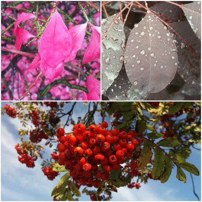 Rowan berries, pink autumn leaves, and purple autumn leaves in Stirling Scotland. | Riotlower's Realm