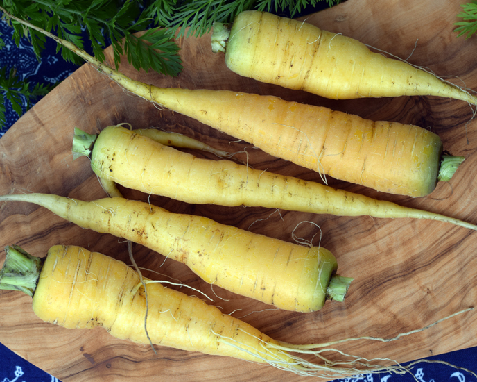 Yellow Carrots from garden in Stirling Scotland