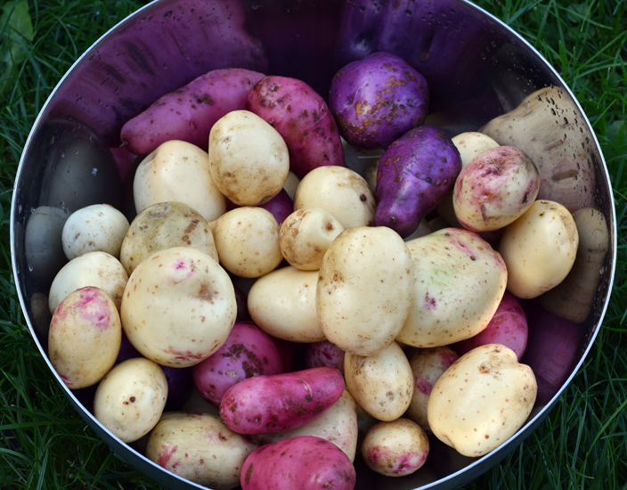 cream, russet and purple potatoes from garden in Stirling Scotland