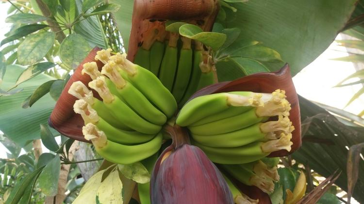 Banana tree in agualand